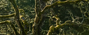 Picture of moss growing on trees